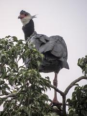 Northern Screamer (Chauna chavaria)