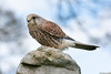 Female Kestrel 2 by Peter Maguire