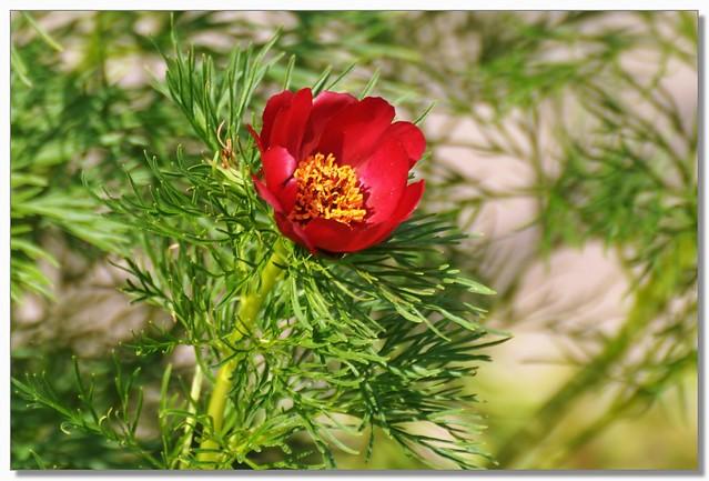 Paeonia tenuifolia / Steppe peony  / Пион степной, узколистный, тонколистный