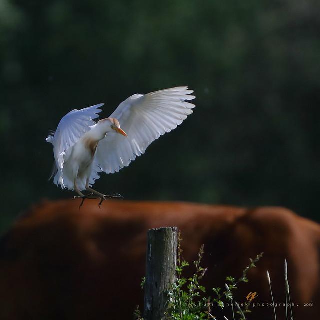 western cattle egret / héron garde boeuf