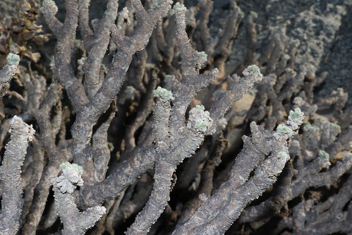 Young leaves on the shoots of Pelargonium cortusifolium
