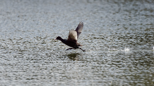 Coot running on the lake (3/5) | by Franck Zumella