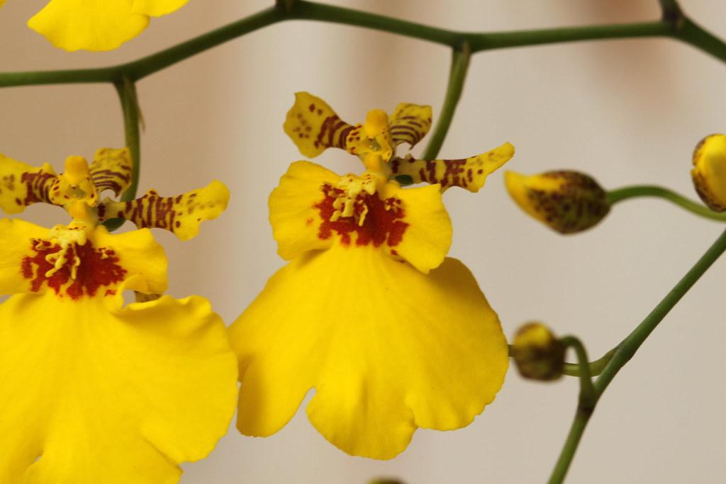Orchid Oncidium Flexuosum