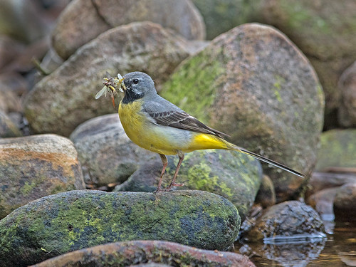 Grey Wagtail 5   by Richard Towell