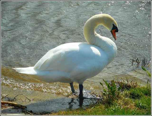 Beautiful Swan ..