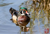 Wood Duck by DragonSpeed