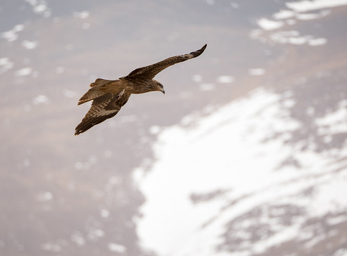 Black_kite_flying_1040075 | by jaapvdkooij