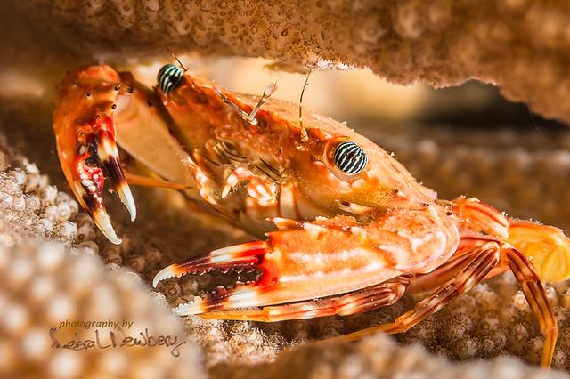 Hawaiian Swimming Crab 4-21-2018