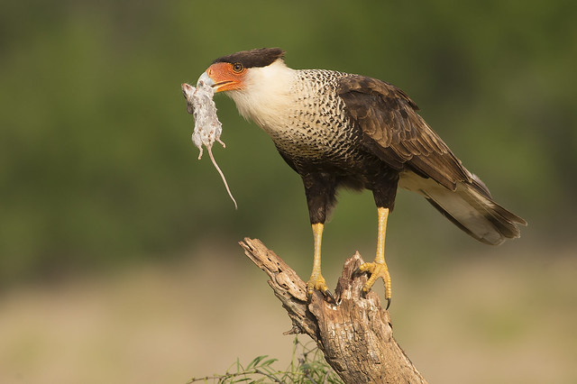 Crested Caracara's Prize
