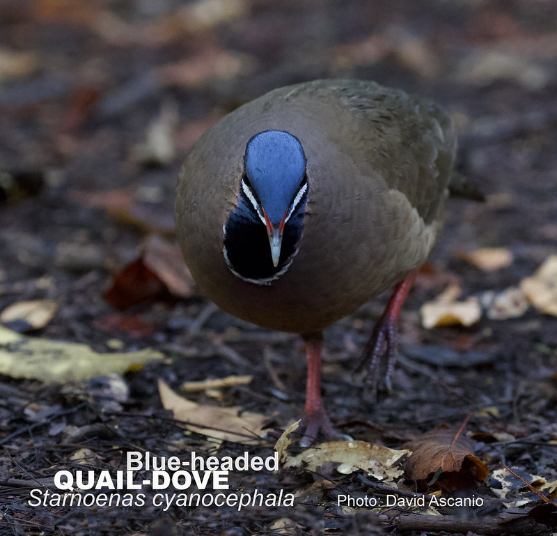 Blue-headed Quail-Dove, Starnoenas cyanocephala