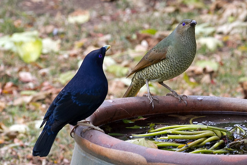 Satin male bower bird and female