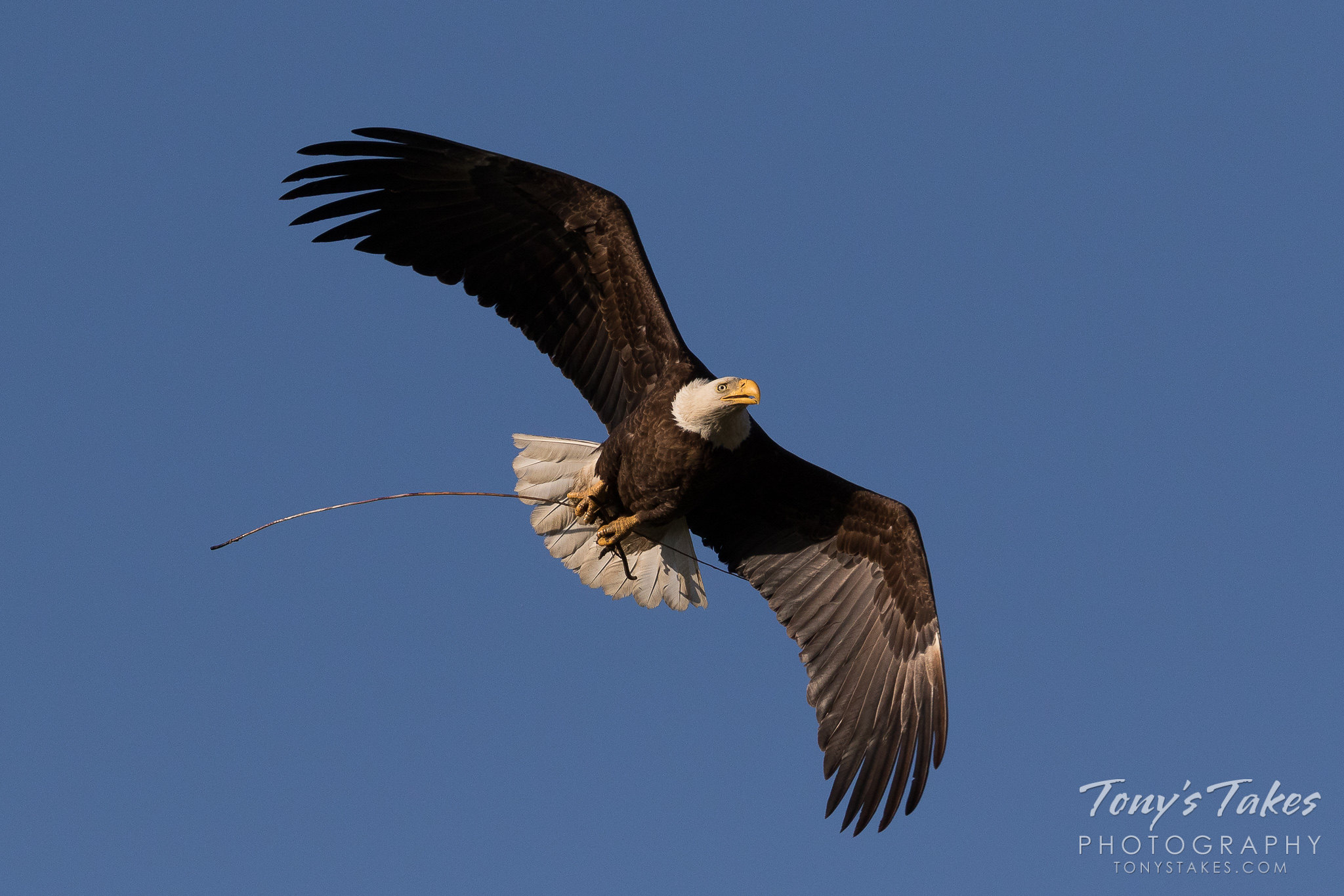 A female Bald Eagle returns to her nest with a small stick. (© Tony's Takes)