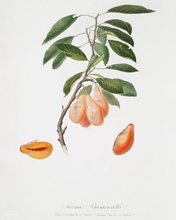 Plum (Prunus ligustica) from Pomona Italiana (1817 - 1839) by Giorgio Gallesio (1772-1839). | by Free Public Domain Illustrations by rawpixel