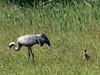 Common crane with two chicks / Kranich mit zwei Küken (Grus grus) by ralph_behrens