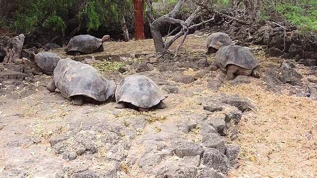 _Galapagos Tortoises