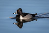 Ring-necked Duck by jrp76