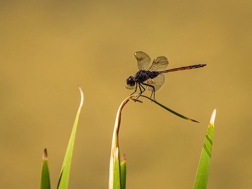 Four-spotted Pennant(?) | by Ed Rosack