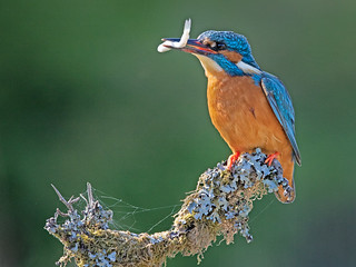 Kingfisher with Fish and Cobweb 2 | by Richard Towell