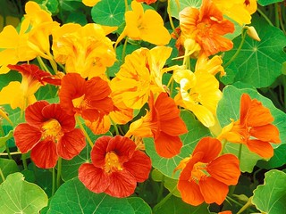 Nasturtium Edible Flowers to Flavour your Food & Improve your Health (gardeningflavours.com) | by pardeeppatel