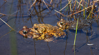 American toads (Anaxyrus americanus) in amplexus | by phl_with_a_camera1