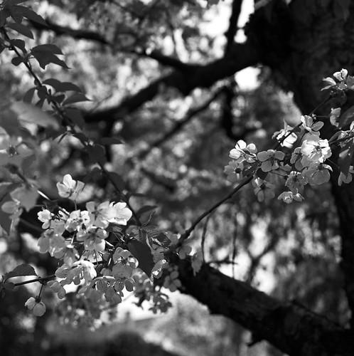 Sakura | by Jean-Marc J