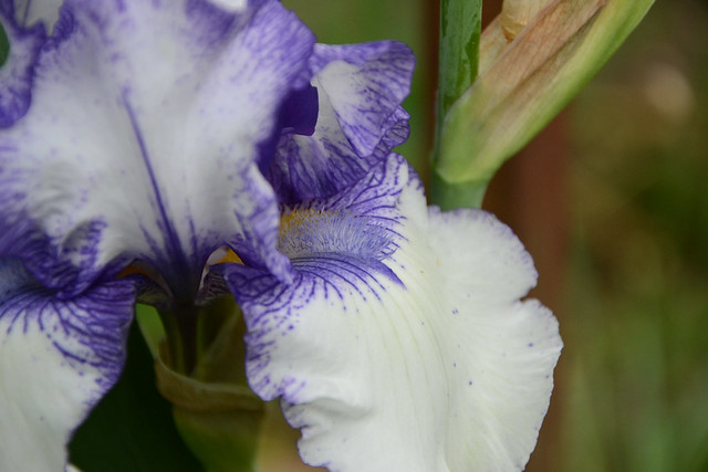 Iris 'Orinoco Flow' - Cy Bartlett 1989 40173571110_73c5864a0d_z