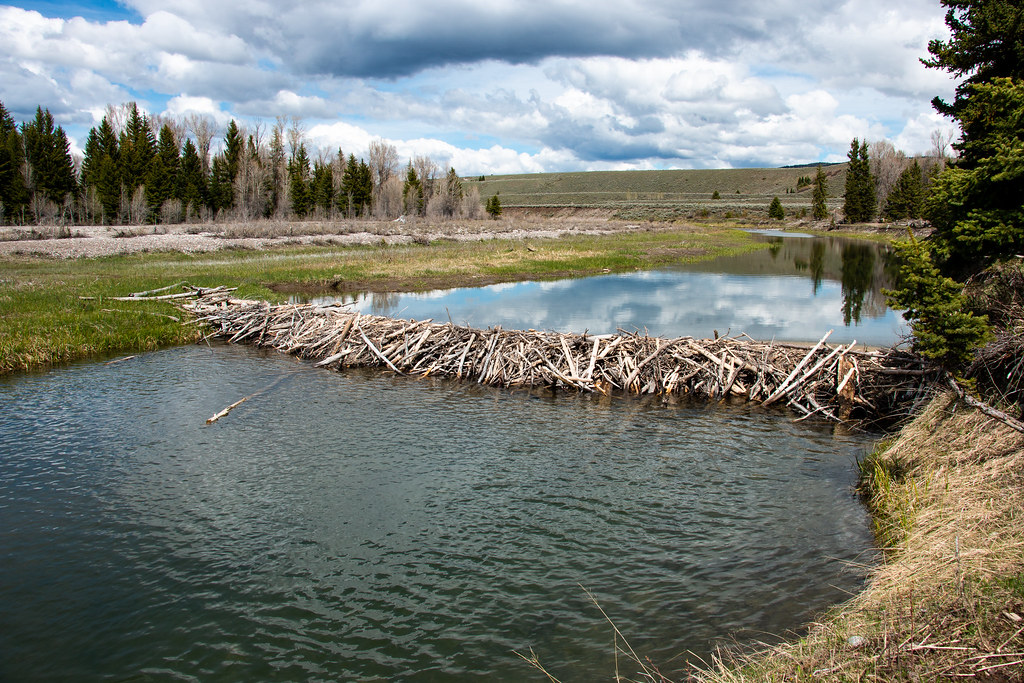 beaver dam a beaver dam slows the water of the snake river\u2026 flickr Wood Dam beaver dam by grandtetonnps beaver dam by grandtetonnps