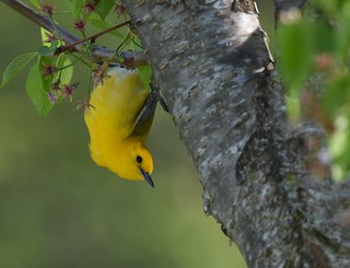 Prothonotary Warbler | by Wildreturn