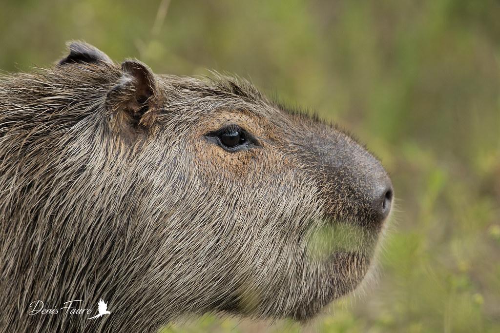 Cabiaï - Capybara - Hydrochaeris hydrochaeris
