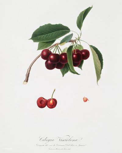 Cherry (Cerasus visciola) from Pomona Italiana (1817 - 1839) by Giorgio Gallesio (1772-1839). | by Free Public Domain Illustrations by rawpixel