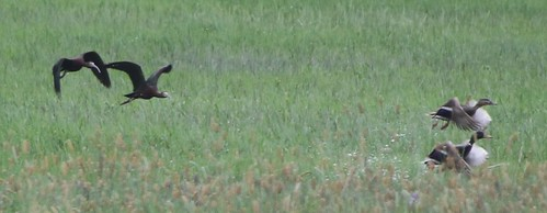 kevinlucas whitefacedibis plegadischihi jeffkozma lateralc toppenishcreek yakimacountyrarebird yakimacountywashingtonus wadingbird flightshot documentationphoto mallard