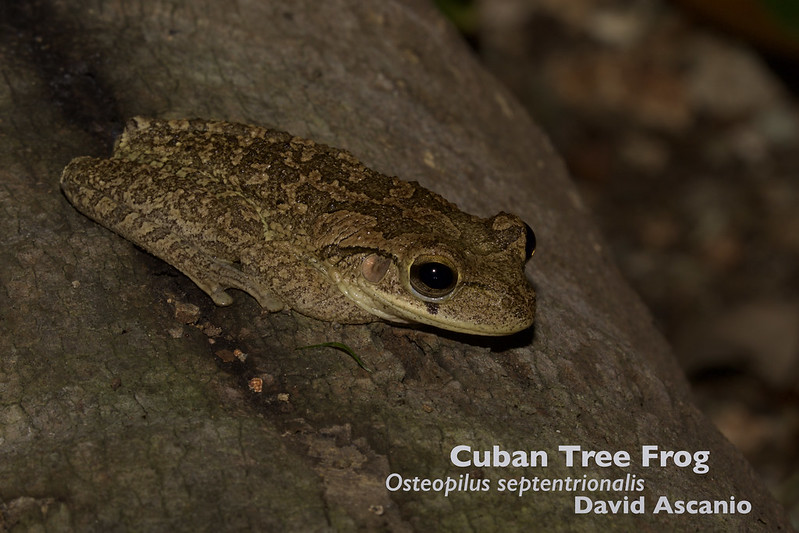 Cuban Tree Frog, Osteopilus septentrionalis_199A4110