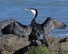 Pied shag (cormorant) drying wings - Phalacrocorax varius by Maureen Pierre