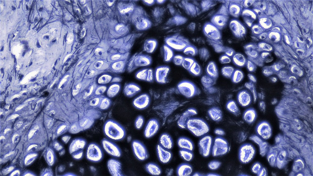 Connective Tissue Elastic Cartilage Cross Section Mammal Flickr