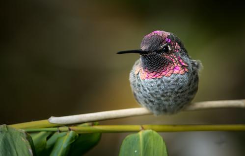 Anna's Hummingbird (Calypte anna) | by Wade Tregaskis