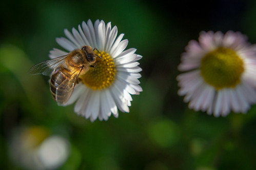Daisy bee | by Ted Rabbitts