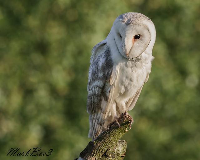 Barn owl (1 of 3)