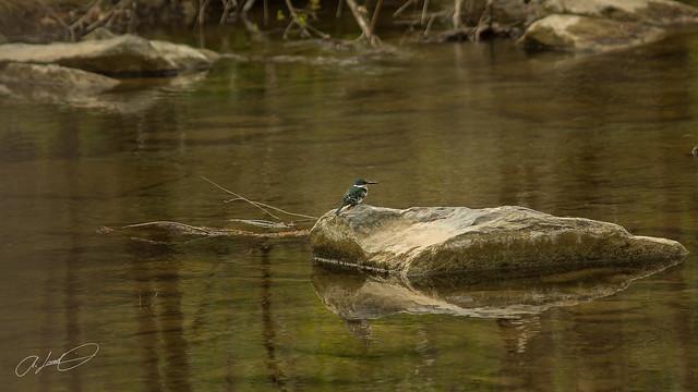 Martin Pescador Verde (Chloroceryle americana)