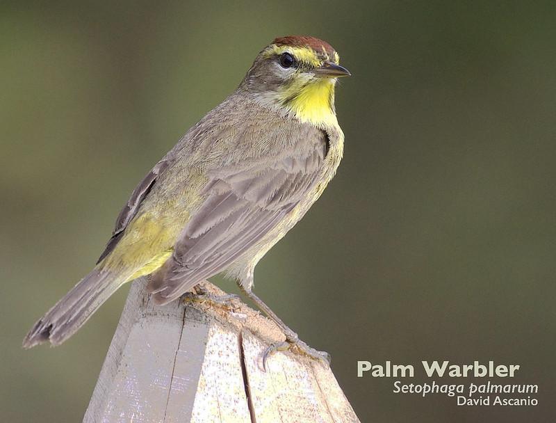 Palm Warbler, Setophaga palmarum_199A3542