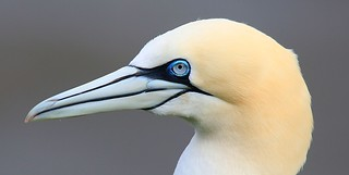 gannet | by Nick Goodrum Photography