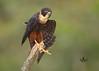 Halcón Murcielaguero -Bat Falcon- (Falco rufigularis) by raulvega
