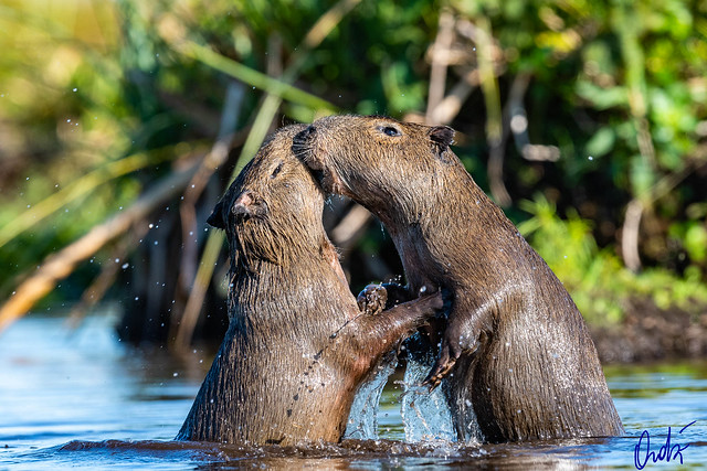 Carpinchos juveniles - Capybara pups