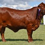 Stud Cattle Wednesday - Sarah