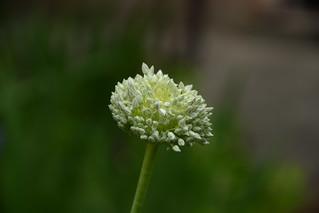 Allium polyanthum   by pamina FJ