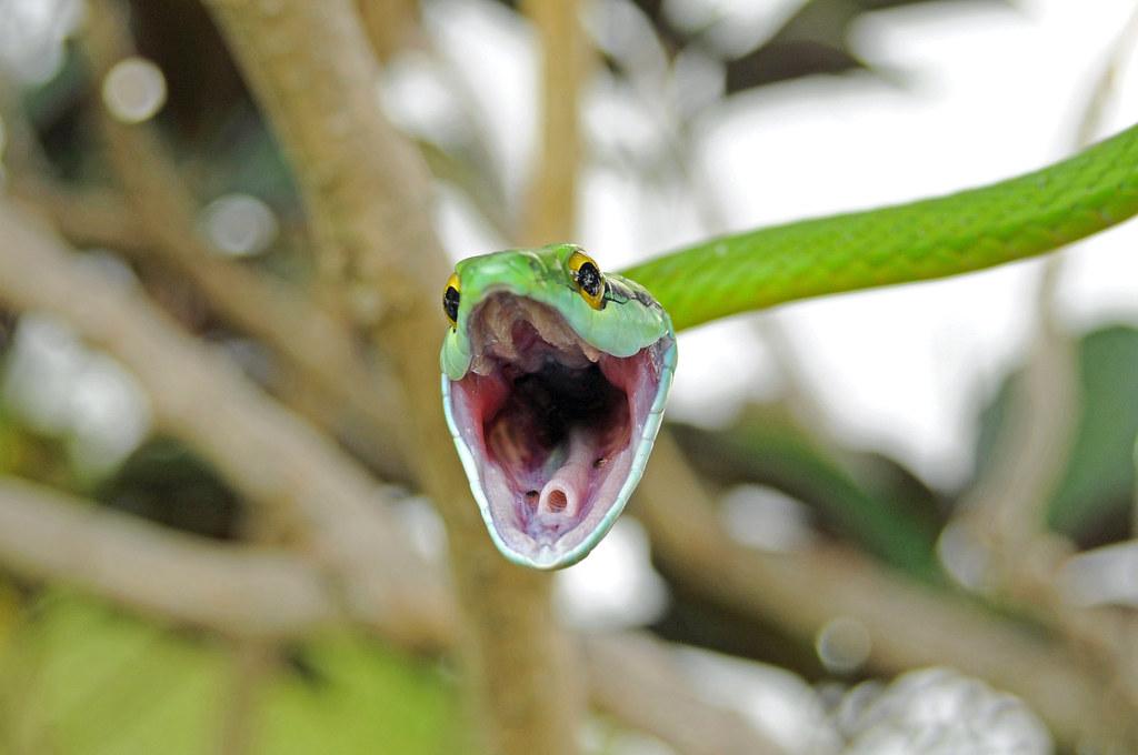 Green Parrot Snake (Leptophis ahaetulla)