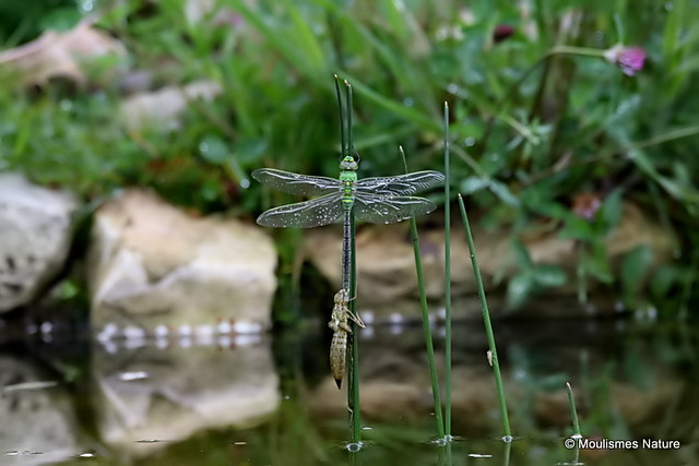 0S8A7461. Emperor Dragonfly | Anax imperator | male | teneral