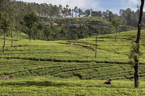 srilanka asia canon landscape nature dambatenne dambatenneteaplantation tea teaplantation green teapicker haputale