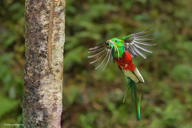 Quetzal_NGR3071