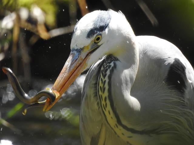 Grey Heron with Brook lamprey.