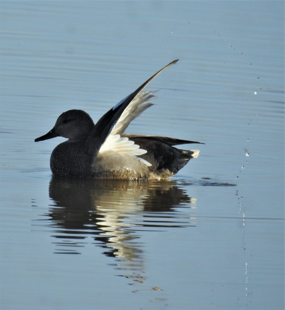 Gadwall - Water Arc Wing - Cresswell